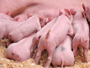 A group of hungry piglets fighting to get their fair share of milk.