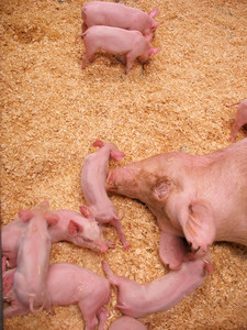 A group of little piglets scurrying around near their mother.