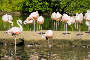 A group of pink flamingo birds in the water.