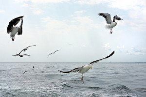 A group of scavenging seagulls flying over the ocean waters of the Long Island Sound.