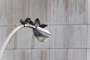 A group of six city pigeons sitting roosted on an urban city lamp post.