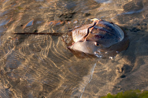A large new england horshoecrab in shallow water at the beach during low tide.