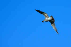 A large seagull flying over a blue sky and carrying a mollusk in its mouth.
