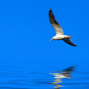 A large seagull flying over a blue sky with a reflection coming off the water.