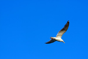 A large seagull flying over a blue sky.