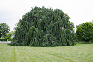 A large weeping beech tree with hanging branches.