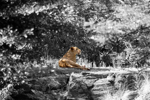 A lion laying down on a large rock in a natural setting - selective color.