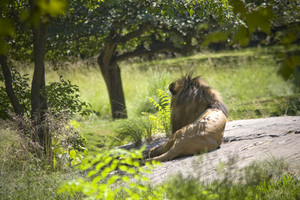 A lion laying down on a large rock in a natural setting.