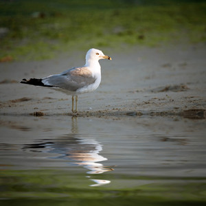 A lone seagull stands on the sea shore with a reflection coming off the water.