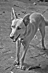 A mixed breed mutt dog in black and white high dynamic range.
