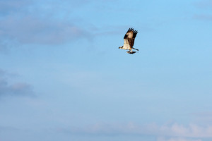 A North American Osprey bird of prey catches a fluke or flounder and flies off.
