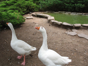 A pair of clean white geese - one more curious than the other.