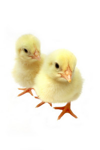 A Pair Of Cute Chicks