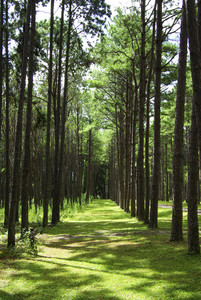 A photo of a pine forest an early morning in autumn