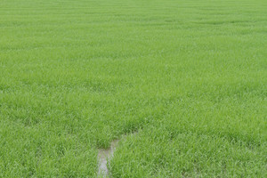 A Photo Of Rice Farm