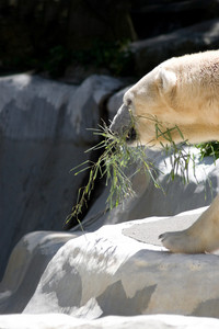 A polar bear carrying a bamboo branch in his mouth.