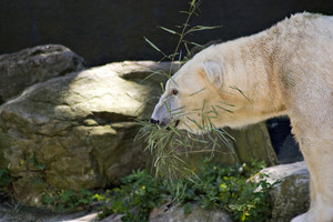 A polar bear carrying a branch in his mouth.