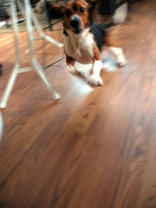 A purebred beagle running like a little crazy man around the house.