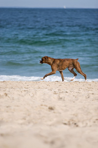 A purebred boxer dog runs on the beach with plenty of copy space.
