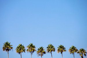 A row of palm trees over a blue sky with plenty of negative space.