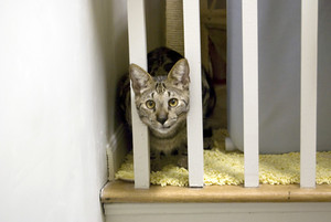A shot of a highly rare savannah cat staring cautiously from behind the stairway rails. This is a very expensive cat breed due to their large nature.