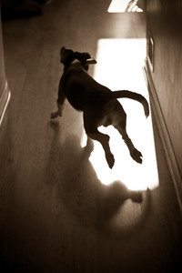 A silhouette of a young beagle pup running through the house.