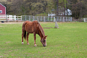 A single brown horse grazing on the grassy field.