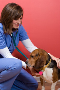 A veterinarian tends to a sick beagle dog and listens to his heart with a stethoscope.
