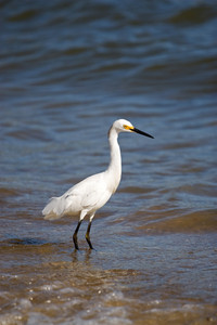 A white snowy egret bird standing by the sea shore.