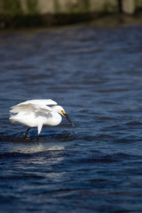 A white snowy egret bird with its wings spread while hunting for minnows.  It captured a fish and has it in its mouth.