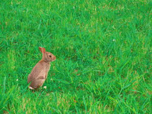 A wild bunny rabbit grazing in the grass in Connecticut at Hamonasset Sate Park.