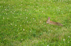 A wild bunny rabbit grazing in the green grass in Connecticut at Hamonasset Sate Park.