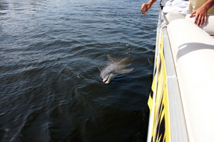 A wild Florida Dolphin spotted in the Casey Key Area swimming alongside a boat.
