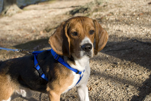 A young, alert beagle gazing ahead on the hunt.