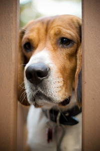 A young beagle dog gazes through the gate with a sad look on his face.  He has separation anxiety.  Shallow depth of field.