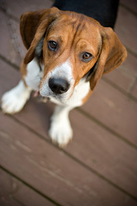 A young beagle dog looking at the camera out of curiosity.