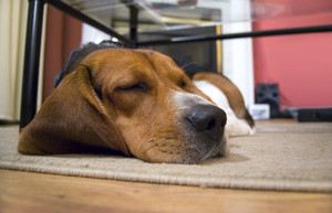 A young beagle dog sleeping on the floor.