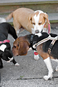 A young Boston Terrier and two Beagles check each other out.