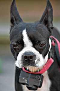 A young Boston Terrier dog looking intently out of curiosity.