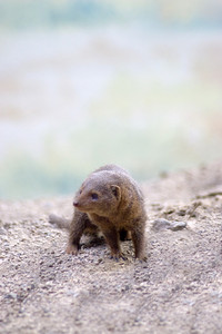 A young mongoose in a desert setting - very cute.