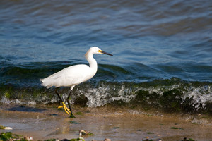 A young snowy egret bird walking along the beach as it hunts for small fish.