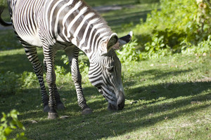 A zebra grazing on the green grass.