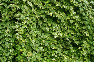 Abstract Background Of Lush Green Ivy Leaves-