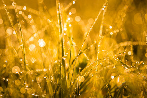 Abstract close up of morning grass with dew droplets. Golden light macro with  bokeh effect - useful as background