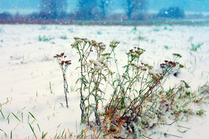 Achillea herb in the field covered with first snow