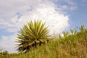Agave-plant-in-the-hill