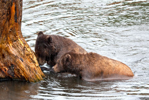 Alaska Brown Bears In Rain