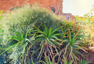 Aloe bushes in the ancient city Caesarea in Israel.