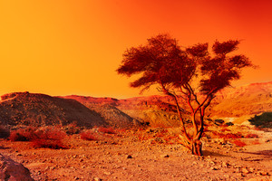 Alone tree in Judean Desert at sunset