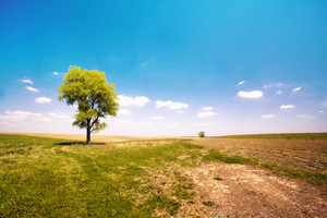 Alone tree in the uncultivated field